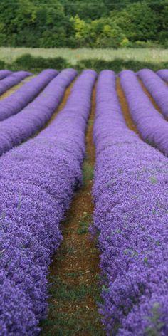 .^. Magnifique champs de lavande