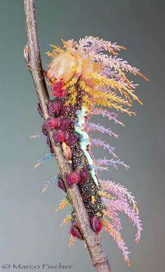 Spanish moon moth caterpillar