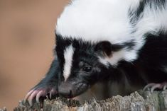 The chemicals that make skunks and some marijuana smell the same Skunk Weed, Striped Skunk, Cannabis Plant, Weird Pictures, The Great Outdoors, Skunks, Crazy Things, Outdoor Life, Off Grid