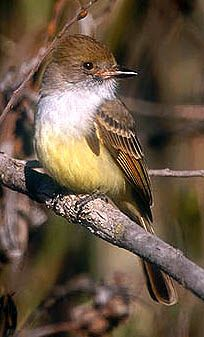 Nutting's Flycatcher  Mason Regional Park, Irvine, California  22 December 2000