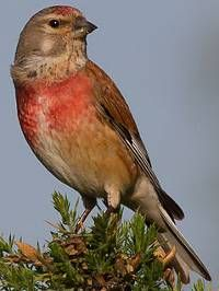 linnet bird - Google Search