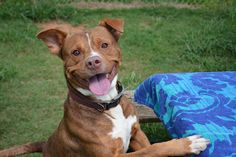 """HI! I'm happiness on four paws, AKA Biz in Athens, Georgia. And I need your re-pins to find a home! I am always happy, love to play my own games AND with other dogs, and will LOVE YOU LOVE YOU LOVE YOU if you adopt me!!!! Click my photo or """"Visit"""" to learn more!"""