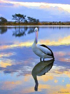 Pelican, Nambucca Heads, Australia Nature Pictures, Beautiful Pictures, Cool Photos, Cool Pictures, Australian Animals, All Birds, Wild Nature, Animals Of The World, Bird Feathers