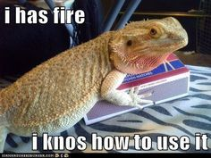 Feeding Your Bearded Dragon In The Right Way Funny Lizards, Pet Lizards, Cute Reptiles, Fancy Bearded Dragon, Bearded Dragon Funny, Funny Animal Memes, Funny Animals, Funny Memes, Bearded Dragon Enclosure