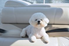 Weekend Waterview: Boating with Dogs Baby Dogs, Dogs And Puppies, Doggies, Super Cute Puppies, Cute Dogs, Bichon Dog, Dog Haircuts, Poodle, Cute Dog Pictures