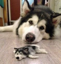 Mini Siberian Husky made from his shedded coat. http://sussle.org/t/Dog