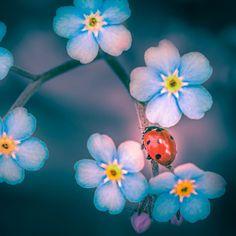 Alaska state flower~ forget-me-not