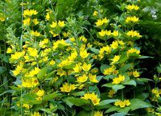 https://flic.kr/p/ojzYj5 | Ranta-alpi, lusimachia vulgaris