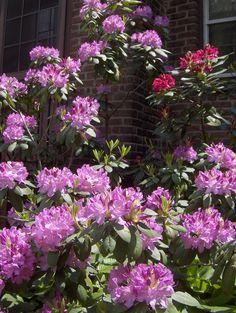 Rhodedendrons pruning