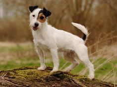 russell terriers | Jack Russell Terrier : chien et chiot. Jack Russell - Wamiz