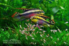 Parrot cichlid (Pelvicachromis pulcher)