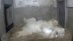 Polar Bear, Neues vom kleinen Eisbären im Zoo Rostock - Update 20.02.2015