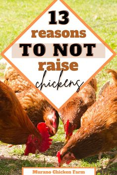 Raising Backyard Chickens, Cute Chickens, Chicken Story, Chicken Pictures, Guinea Fowl, Chicken Humor, 13 Reasons, Coops, Hens