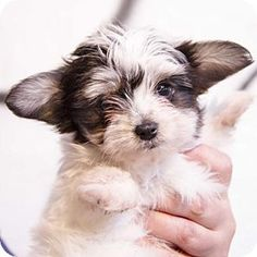 yorkie mixed puppies for sale mn 1000 images about maltese and papillon mix on pinterest 8386