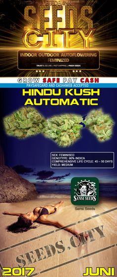 "cannabis samen Hindu Kush Automatic von Sensi Seeds ""NEW"""