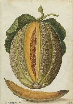 """Jacques Le Moyne de Morgues  Melon 1575    Look at the difference a couple hundred years of farming makes. How thin the meat, how pebbled the skin, and how the """"guts"""" take up most of the fruit. Awesome."""