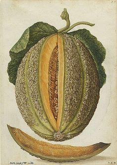 Botanical - Melon - Jacques Le Moyne de Morgues,1575