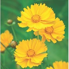 Cut Flowers, Yellow Flowers, Color Unit, Tall Plants, Gardening Tips, Seeds, Bloom, Large Plants