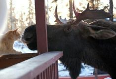 My aunt lives in Alaska and posted this picture last night. Animals And Pets, Baby Animals, Funny Animals, Cute Animals, Moose Pictures, Animal Pictures, Beautiful Creatures, Animals Beautiful, Unlikely Friends