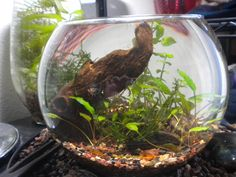 knotyoureality's planted bowl with shrimp and snails