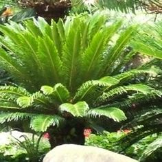 If you want to imagine Jurassic Park, you'd have to include members of the cycad family of plants as some of the predominant greenery around which...
