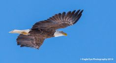 """""""The Happy Eagle"""" An adult Bald Eagle with a big smile on its face flies over a frozen marsh in Rye Harbor State Park - Rye, NH 02-10-14"""