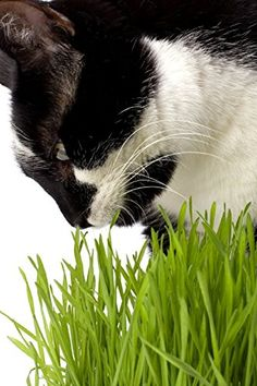 Organic #Wheatgrass/ Cat Grass Seeds for Cooking, Sprouting, Juicing, Milling or Shots. Bonus- Free eBook - How to Grow, How to Juice Without a Juicer and Recipes. Grow Your Own Amazing Non-GMO/ Fresh - Hard Red Wheat Grass, Green Superfood for You or Your Favorite Pet. 1 Pound Bulk. Buy Now with Confidence and Instantly Reap The Healthy Benefits. Bella's Choice http://www.amazon.com/dp/B00WZW1YF6/ref=cm_sw_r_pi_dp_L6Fzvb00T11B9