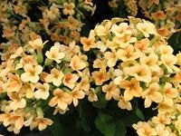 kalanchoe - flowering tropical succulent house plant