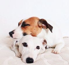 Russell terriers.