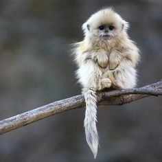 Little Monkey Alone Such a darling little face but so glum. This is a Golden Snub Nose Monkey baby but he's too young to actually see his golden colors. Aww.. so cute!