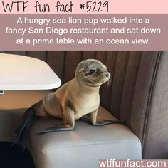 Hungry sea lion walks into a fancy restaurant - WTF? Weird & fun facts
