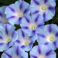 Climber Plants, Trachelospermum Jasminoides, Morning Glory Flowers, Plant Cuttings, Flowering Vines, Backyard Projects, Garden Seeds, Flower Seeds, Flower Power