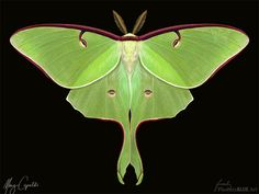 displaying luna moths | Luna Moth Illustration Luna moth (actias luna) by