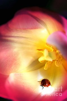 The ladybug and the tulip by Camelia C Insect Photos, Macro Flower, Impressionist Art, Image Photography, Art For Sale, Art Images, Lady In Red, Pink Flowers, Tulips