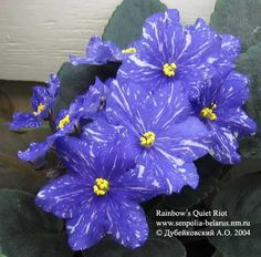 Purple Flowers, Flowers, Perennial Flowering Plants, Trees To Plant, Blue Flowers, Herbaceous Perennials, African Violet Pots, Pansies, African Violets