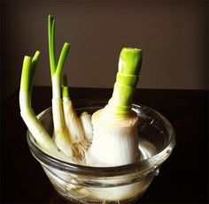 Regrowing leeks is similar to regrowing green onions. Just cut them in about 2 inch from the roots and place them in a bowl of water.