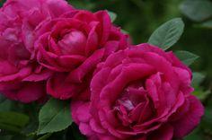 Hybrid Perpetual Rose: 'Rosa 'Captain Hayward' (U.K., 1893)
