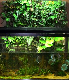 The Planted Tank Forum - View Single Post - Yikesjason's 150 wide discus tank: holiday decor