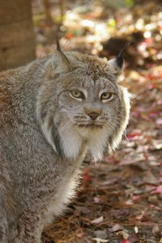Beautiful Canadian Lynx.