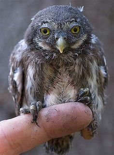 The Eurasian Pygmy Owl is the absolute smallest living owl species in Europe! Its coloring is fairly typical for a temperate zone owl, a brown or sometimes ruddy greyish plumage with white speckles and white/brown breast feathers. These little owls prefer slightly colder climate like the Taiga of Europe and Asia.