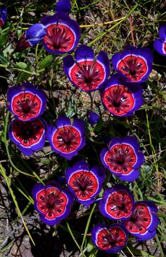 With its electric color scheme, this rare South American flower, known as Geissorhiza Radians, is like a living Warhol print.   - HouseBeautiful.com