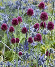 "Allium sphaerocephalon - Syn: The Drumstick Allium. Great naturalizer with dense, crimson-purple, egg-shaped flowers. Bulb size: 6 cm/up. July. 24"". HZ: 4-9."
