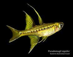 Lake Kurumoi Rainbowfish : Ponad 1000 obrazow na temat: Rainbow Fishes na Pinterescie T?cze ...