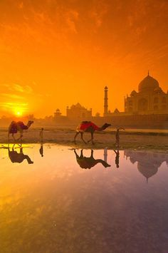 Boys and their camels wade through the shallow water of the Yamuna River Taj Mahal in background at sunrise Agra Uttar Pradesh India Taj Mahal, New Travel, India Travel, Cheap Travel, Rajasthan Inde, Vietnam Voyage, Vietnam Travel, Amazing India, India Culture
