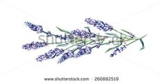 Lavender Twig. Vector Illustration, eps 8 - stock vector