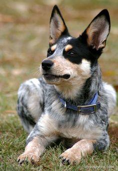 australian_cattle_puppy_3