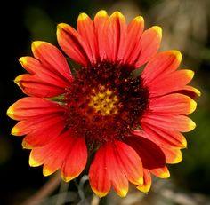photos of indian blanket firewheel | Gaillardia (firewheel, Indian blanket) (Gaillardia pulchella).