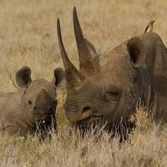 Black rhino mom and calf. I hope you enjoyed the rhino festival!