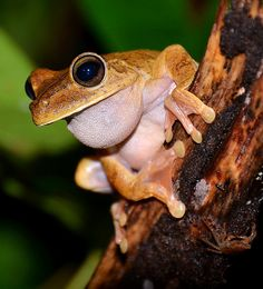 Gladiator Frog (night shot) at Nicuesa. by One more shot Rog, via Flickr