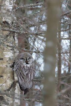 Satisfied friend (Great grey owl)